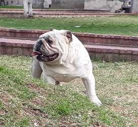 Bulldog Ingles disponible para montas (pedigree)