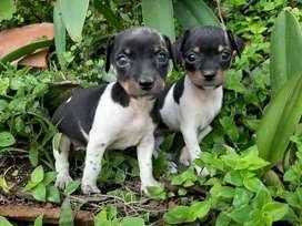 Fox Terrier pelo liso, hermosos cachorros disponibles para la venta con mes y medio de edad, garantia de pureza