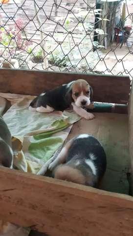 Hermoso beagle cachorro 13 pulgadas