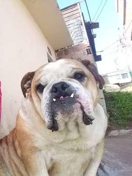 Buldog ingles perro noble adoptenlo URGENTE