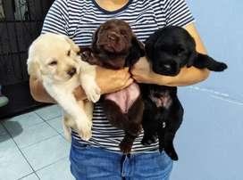 Labrador en venta Piura