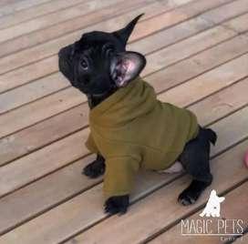 Bebesitos bulldog frances espectaculares