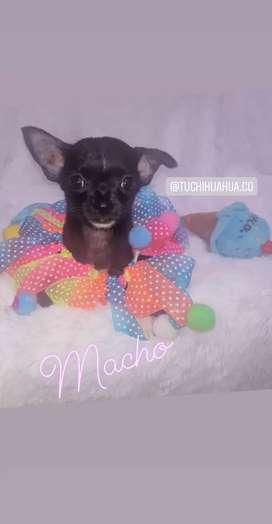 Ultimo!!!macho chihuahua linea mexicano