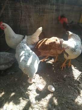 Huevos de gallina  de cría