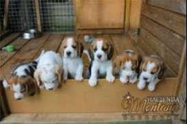 estupendos beagle tricolores super saludables muy juguetones