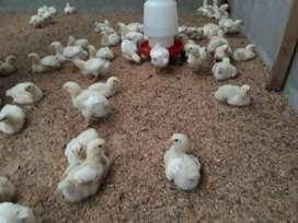 Venta de pollitos Broiler de 21 dias
