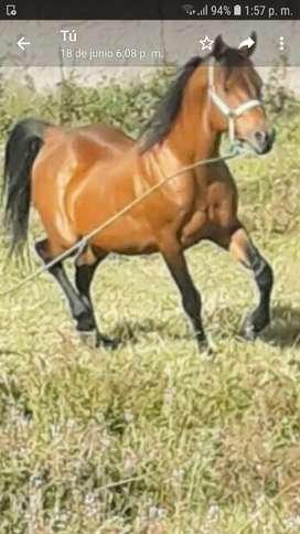 Vendo caballo arabe