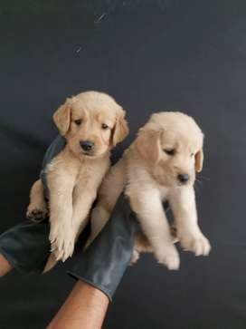 Versatiles golden retriever dorados