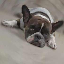 Busca novia Bongito bull dog francés