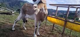 Vendo cabras tipo leche