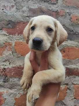 Cachorras Labrador 100% puras