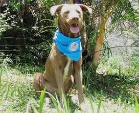 En adopcion perro: melao ( criollo)