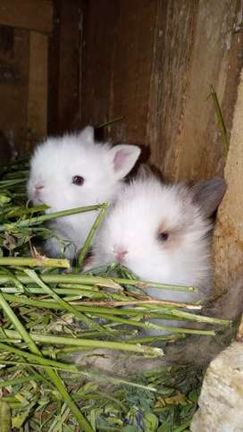 En venta conejitos mascota