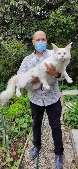Hermosas maine coon. Gato gigante