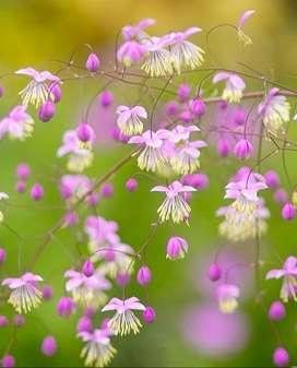 Thalictrum Delavayi / Delavay Pigamon 1 Bio Planta