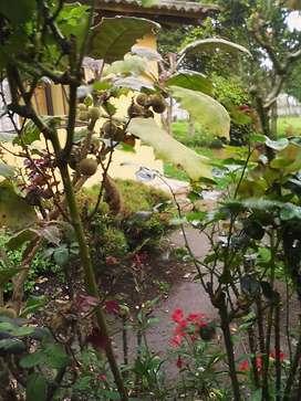 Plantas de tomate de árbol injerto y 3 plantas de lulo