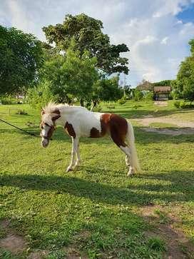 Vendo hermosa pony hembra