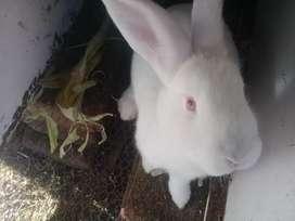 Conejos machos, neozelandeses