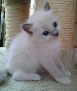 Vendo gatos ragdoll bebes