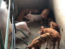 Cerdos lechones marranos