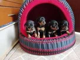 Cachorros pincsher
