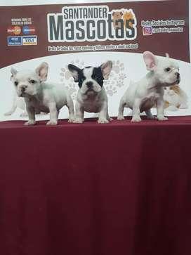 Adorables caninos bulldog francés