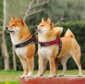 Pechera para perro Arnés para perro Pecheras acolchadas para perros Pechera con ganchos Pechera enchanches DiDog