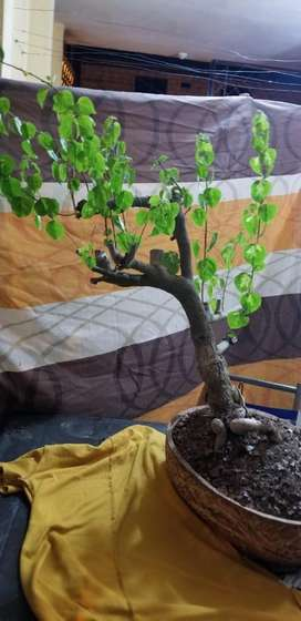 Bonsai con flores hermosas