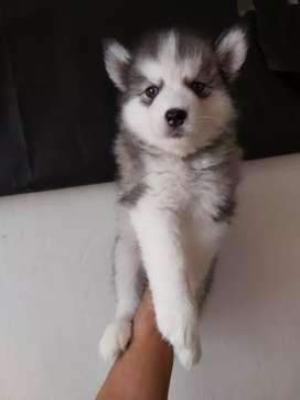 Husky siberiano ojos verdes a la venta