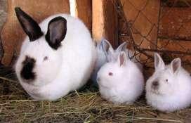 Conejos Californianos