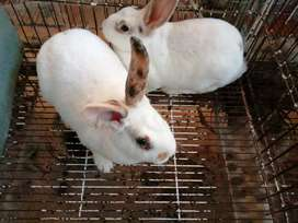 Vendo estos conejos raza rex en Bogotá