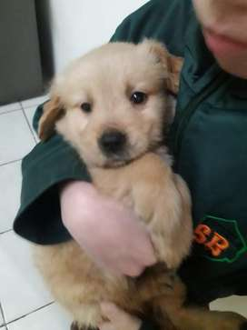 Cachorra Golden Retriever