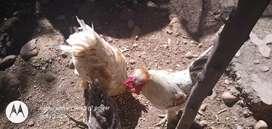 Pollo del campo