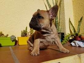 Hembrita Bulldog Frances