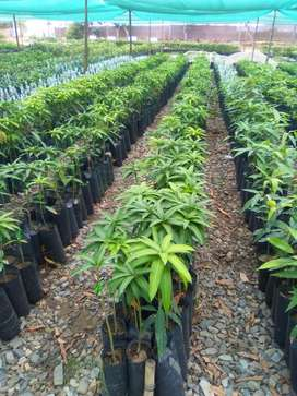 Plantones de Mango Injertos Kent, Edward