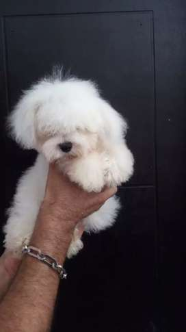 Disponible french poodle tasita de te