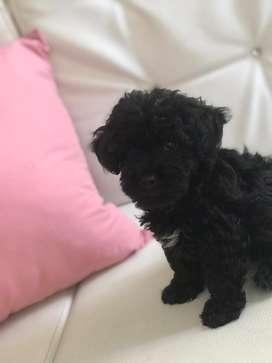 Venta hermosa french poodle mini toy