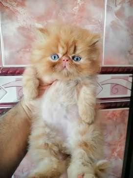 Hermoso gatico persa extremo De excelente genetica  excelente estado de salud de 2 meses   comiendo hills