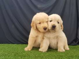 Famosos Golden Retriver lindos