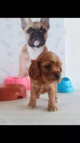 Disponibles hermosos cachorros Cocker spaniel