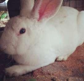 Vendo conejo 50 soles