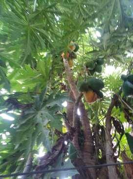 Vendo papayas maduras