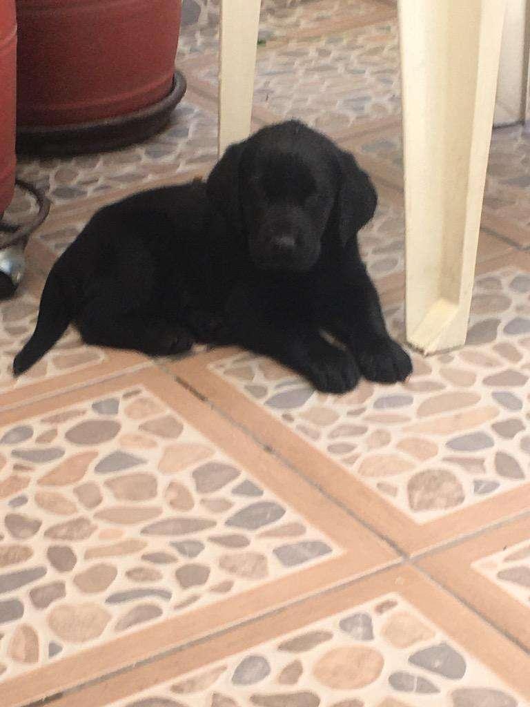 Labrador Retriever 0